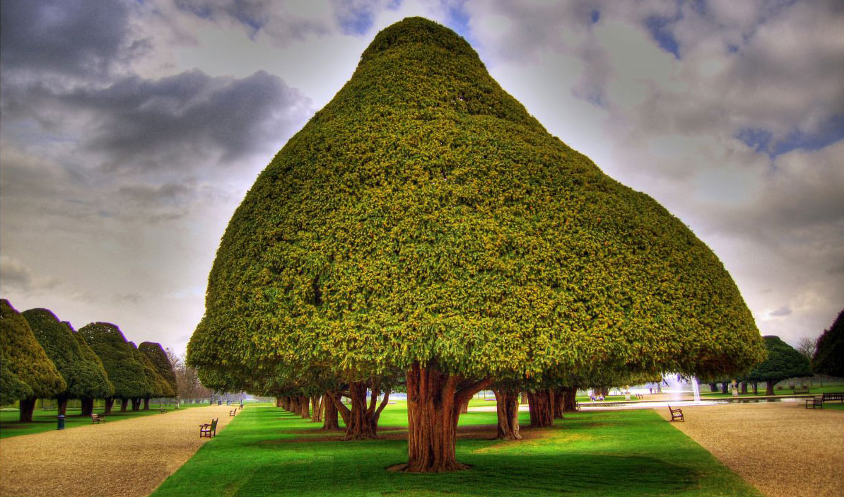 Photo of 350 year-old yew tree courtesy of Giorgos Vintzileos. http://www.flickr.com/photos/vintzileos/439914163/